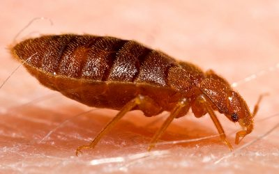 9 things you never knew about bed bugs