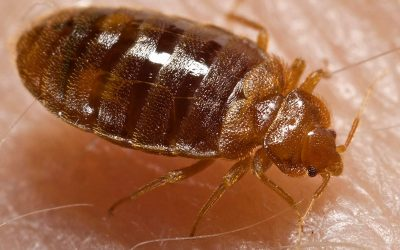 What are bed bug bites and how to prevent them?