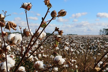 All You Need To Know About Cotton